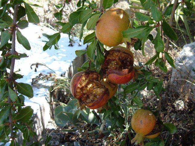 Pomegrans(comp)