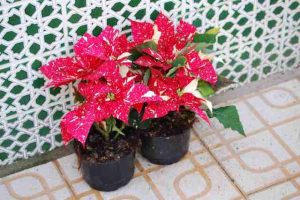 Poinsettia2009-01-12