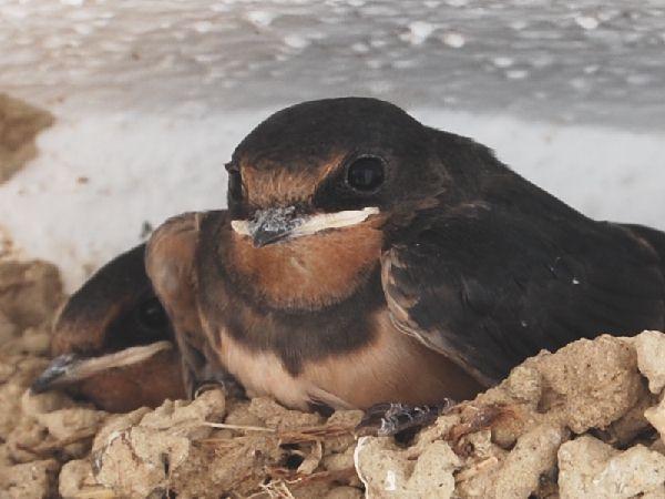 SwallowChick(closeup)23Jun09