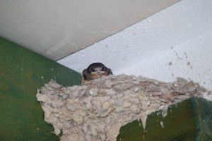 Swallow_Chick9July2010(comp)