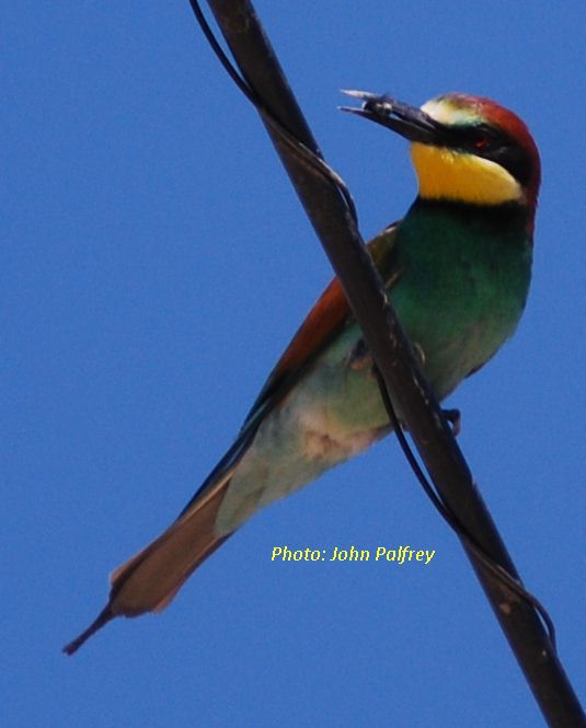Bee-eater_withbee_28apr2011(ST)
