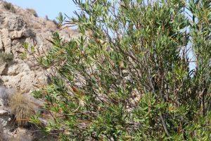 oleander012