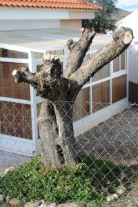 olivetree151212