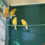 canary2120813